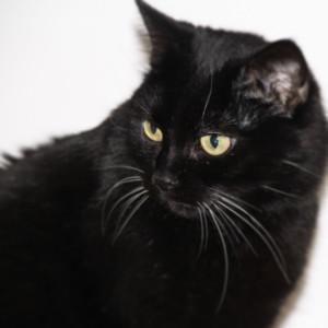 Die Schmusekatze – keine andere Katze schnurrt so schön wie sie.