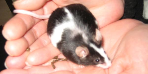 Maus Als Haustier Ratten Als Haustiere