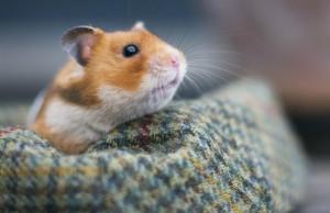 hamster alleine halten