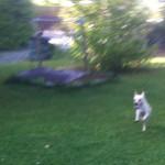 Hund springt