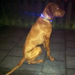 hund mit leuchthalsband