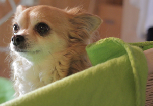 Testhund Lilly Chihuahua