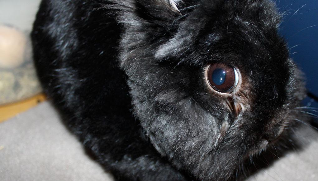 Berühmt Augenentzündung bei Kaninchen: Was tun? - revvet.de #ZN_79