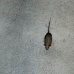 Catpad: Graue Maus