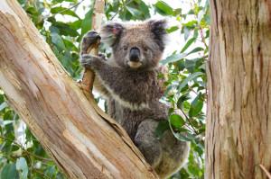 Koala-Dan-Heap