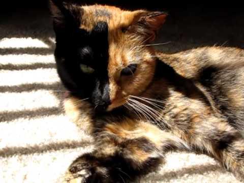 Split Face Calico Cats
