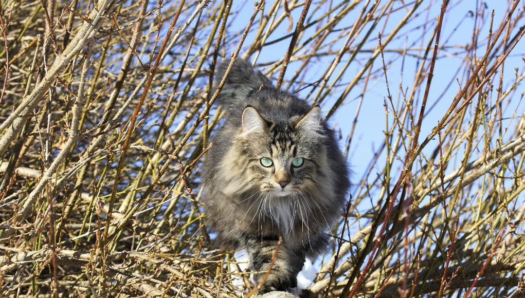 Die Norwegische Waldkatze Revvetde