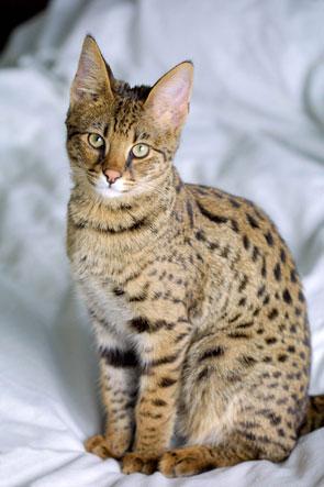 Savannah_Cat_portrait-bd
