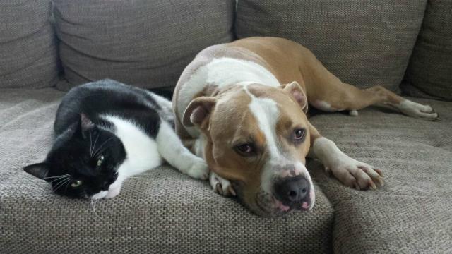 american staffordshire terrier und katze