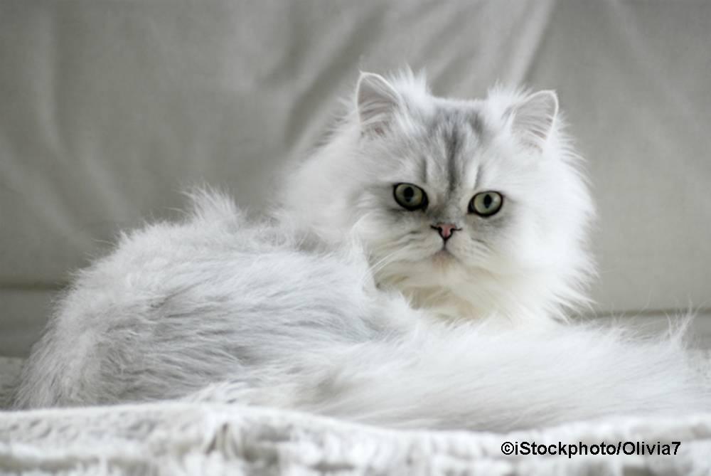 Welche Katzenrasse ist auf dem Bild zu sehen?