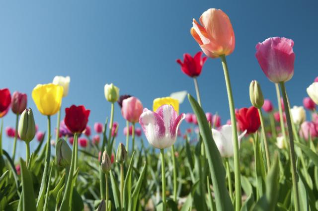 tulpen-giftig-katzen